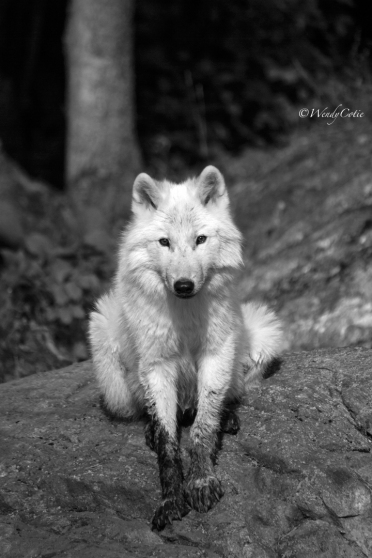 img_8548-recovered_arcticwolfmodel_gs