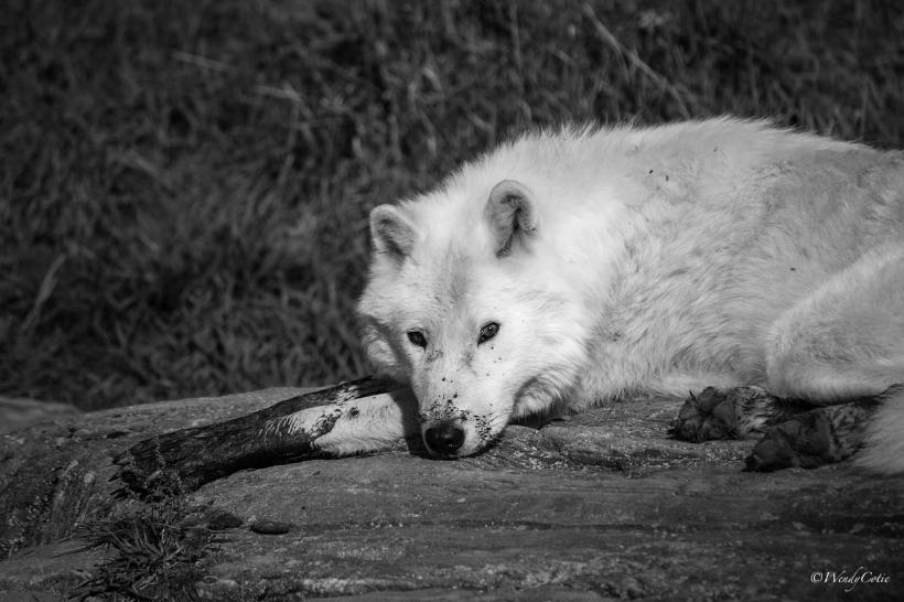 img_8585_arcticwolfstretchedoutgs