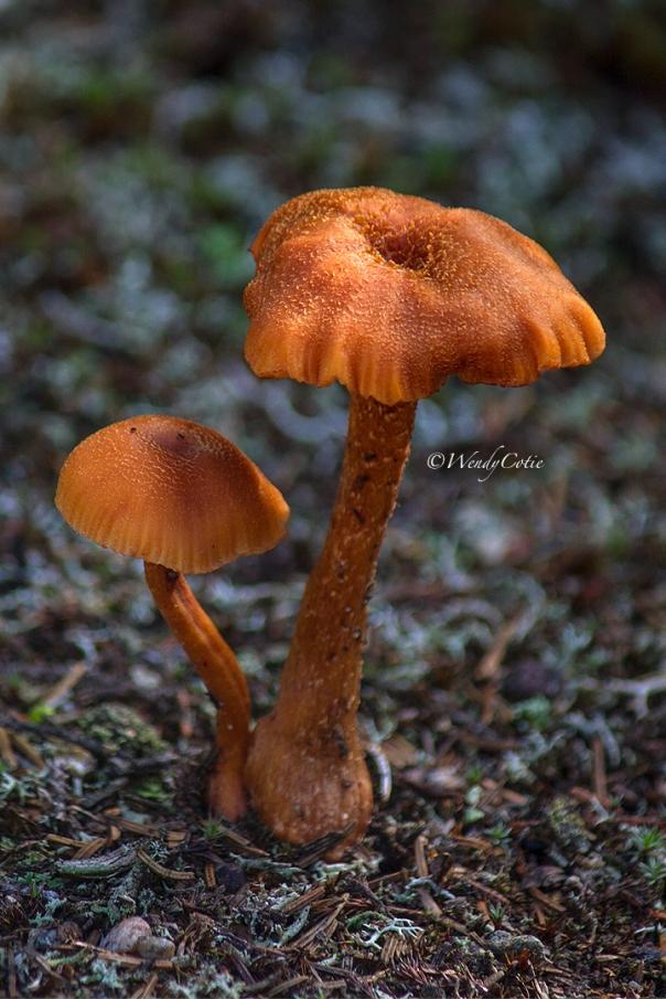img_8908_orangemushroomalgonquin
