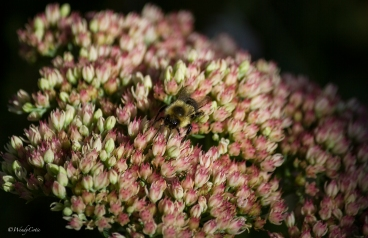 img_8922_bumblebeesedum