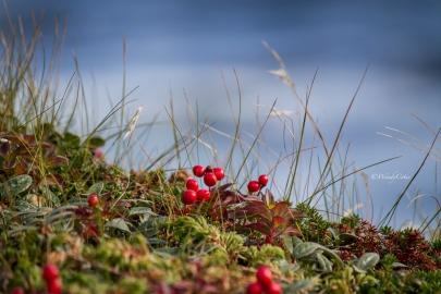 Swampberries