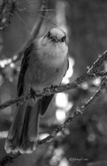 Gray Jay, Algonquin Park, Mizzy Lake area, 24 September 2016