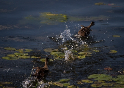 img_9094_fleeingwoodducklings