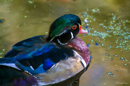 img_9300-recovered_woodduck
