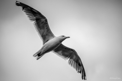 Free as a Herring Gull ;)