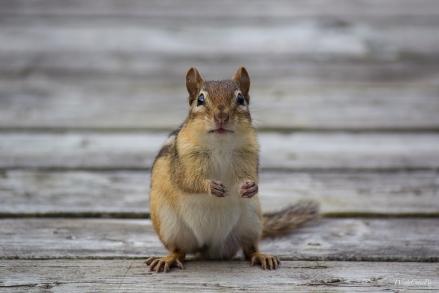 Eastern Chipmunk https://www.theweathernetwork.com/photos/view/animals/cute-chipmunks/22105764