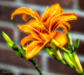 DelicateDayLilies ~ here today, gone tomorrow, each single bloom is perfection in itself