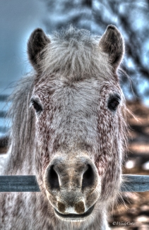 Spirit of Newfoundland, Registered Newfoundland Pony
