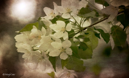BeautifulBlossoms ~ Apple Tree JC