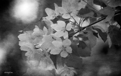 BeautifulBlossoms B&W ~ Apple Tree JC