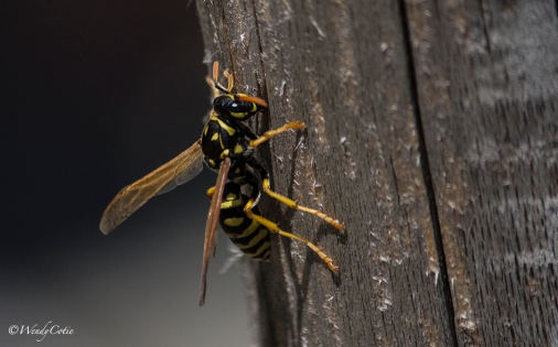 _mg_2346_woodwasp