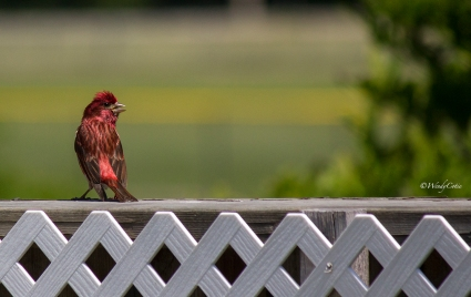 _mg_2418_commonrosefinch