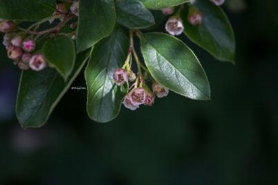 _mg_2633_gardentreepinkbloom