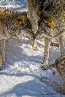 Gray Wolves Socializing https://www.theweathernetwork.com/photos/view/animals/yay-the-gray-wolf-is-on-the-eh-team-for-canadas-150th/28942021