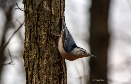 _mg_3088_nuthatchtree