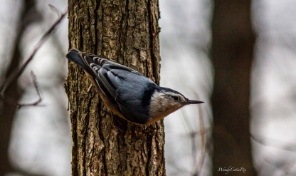 _mg_3094_nuthatchontree
