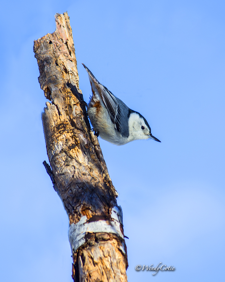 _mg_5096_white-breastednuthachedited_8x10