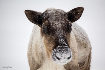 _MG_6301_Cariboufullfacebody