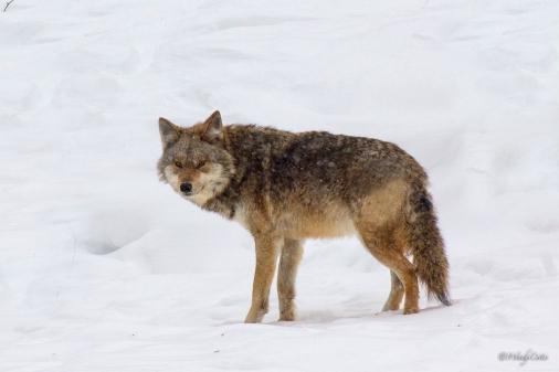 _MG_6410_Coyote