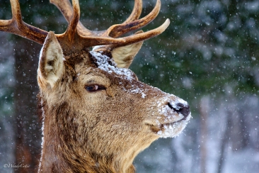 Elk aka Wapiti https://www.theweathernetwork.com/photos/view/animals/caption-this-please/28914034