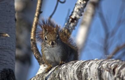 _mg_7081_littlebrownsquirrel
