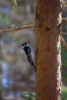 _mg_8724_hairywoodpecker