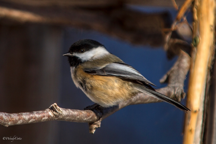 _mg_9315_black-cappedchicadee
