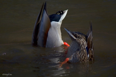 _mg_9589_duckbums