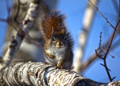 Red Squirrel en Garde!