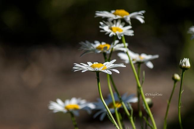 img_0633_daisies6x4