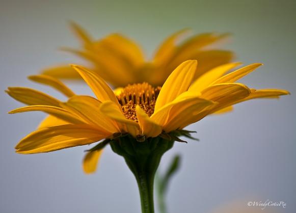 img_0999_yellowdaisy