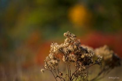 Joe-Pye Weed Seeding