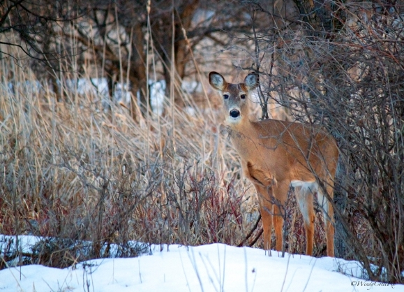 img_2471_deer_bambi