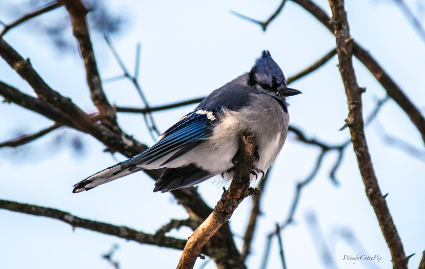 img_2475_bluejay_tree