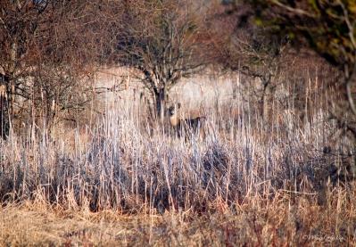 img_2588_camouflagedeer