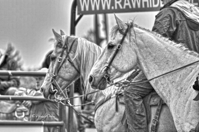 Horses at the Arnprior Stampede 2016