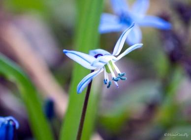 img_4447_blueflower