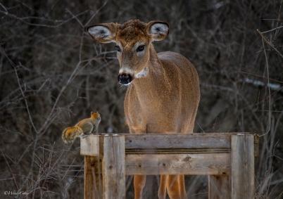 Deer vs squirrel