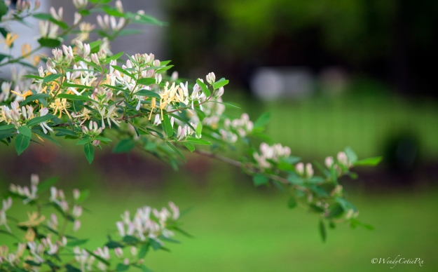 img_5816_floweringbush