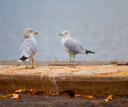 img_6111_doubleseagulls