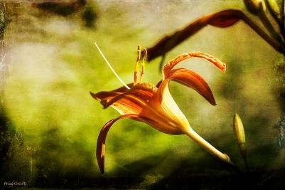 Day Lily aka Ditch Lily (Hemerocallis fulva)