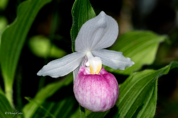 Showy Lady's Slipper (Cypripedium reginae)