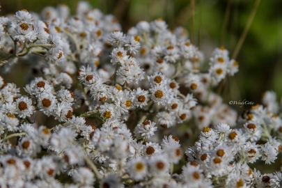 img_7292_whiteflowers