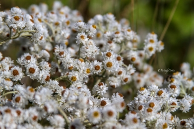 Pearly Everlasting (Anaphalis sp.)