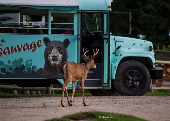 img_8413_deergoingonbus
