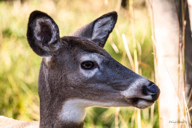 img_8551_deer
