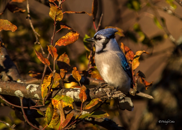 img_9020_bluejayquebectree7x5