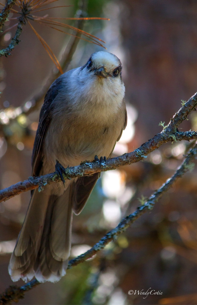 Gray Jay, Algonquin Park, Mizzy Lake area, 24 September 2016