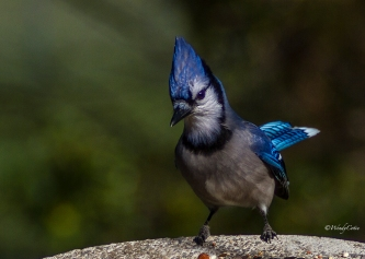 img_9516_bluejay7x5_elvis