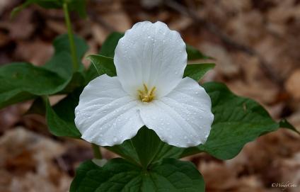 Large-flowered Trillium (Trillium rhomboideum grandiflorum)